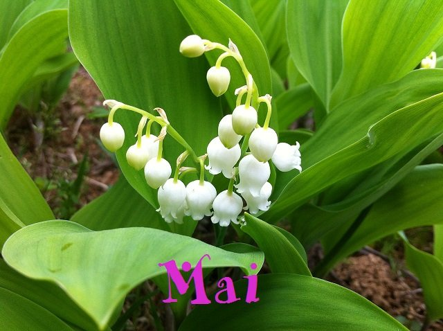 lily-of-the-valley-463593_1280