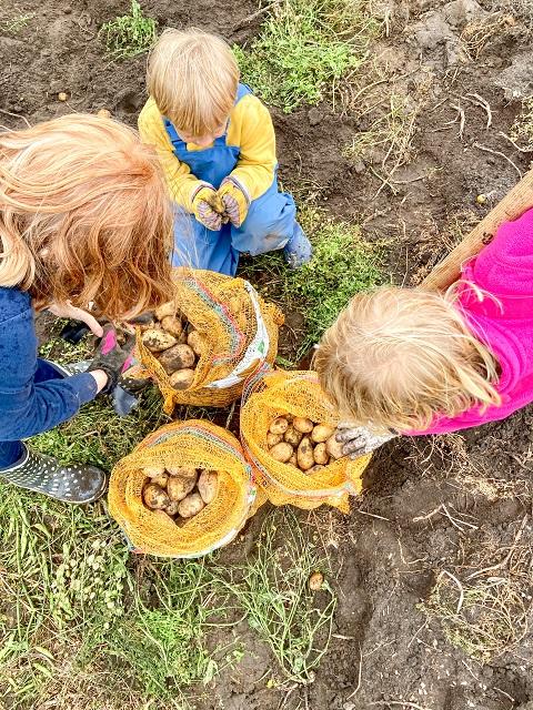 Gut Wulksfelde Kartoffeln buddeln